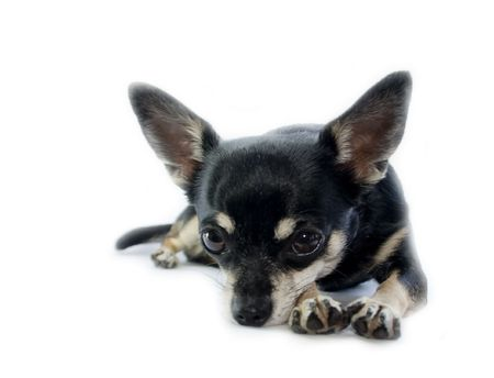 Black and Tan Chihuahua, Laying Down