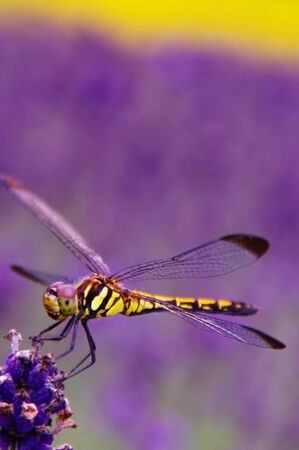 Yellow Dragonfly on Purple Lavender