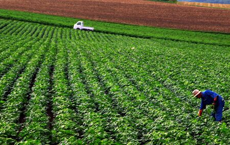 tending: Farmer tending his crops