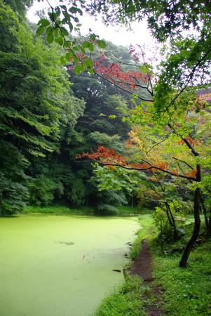 Japanese Maple Stock Photo - 1574084