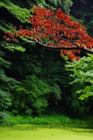 Japanese Maple Stock Photo - 1574063