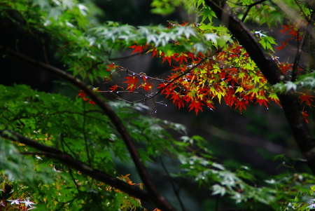 Japanese Maple Stock Photo - 1574060