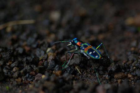 tiger beetle: Tiger Beetle giapponese: Cicindela Japonica (REAL COLORS!) Archivio Fotografico