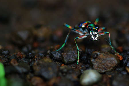 cicindela: Japanese Tiger Beetle: Cicindela Japonica (REAL COLORS!!!)