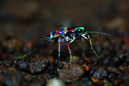 tiger beetle: Scarabeo Giapponese Della Tigre: Cicindela Japonica (COLORI REALI!!!)