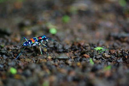 tiger beetle: Tiger Beetle giapponese: Cicindela Japonica (REAL COLORI!)