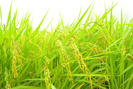 Rice at Harvest: Japan Stock Photo