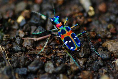 tiger beetle: Japanese Tiger Beetle: Cicindela Japonica (REAL COLORS!!!)