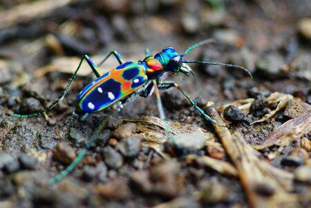 tiger beetle: Giapponese Tiger Beetle: Cicindela Japonica (REAL COLORI!)  Archivio Fotografico