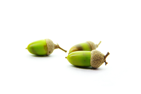 Acorns isolated on white, symbol of preperation for the future.