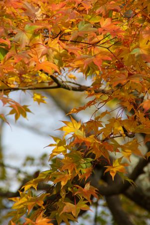 Japanese Maple in Fall Colours Stock Photo