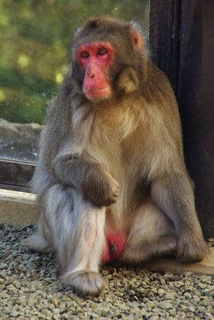 humanistic: Male Japanese Macaque