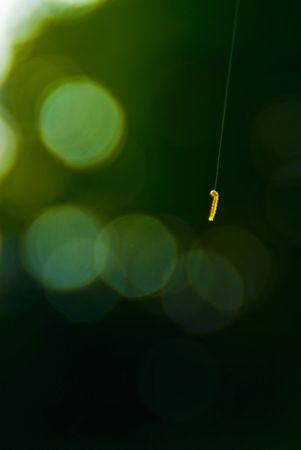 inchworm: young silkworm begins its life