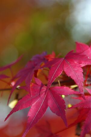 Red Japanese Maple with Green and Yellow Background Stock Photo