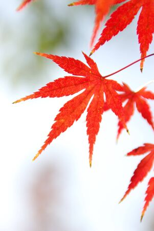 Red-Orange Japanese Maple