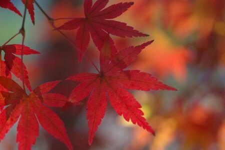 Japanese Maple Stock Photo - 2309808
