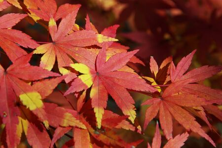 Japanese Maple Stock Photo - 2309810