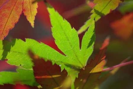 Japanese Maple Stock Photo - 2309809