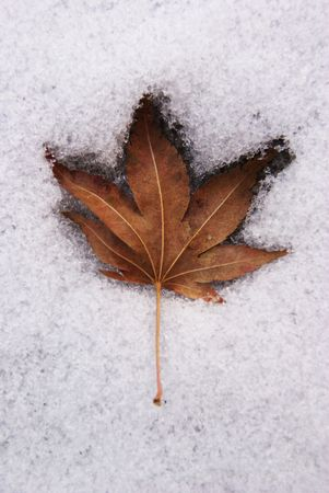 Leaf Preserved in Snow Stock Photo - 2531984