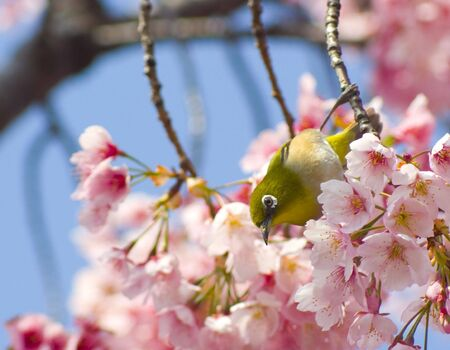 Japanese White Eye (Zosterope, japonicus) Stock Photo - 2746098