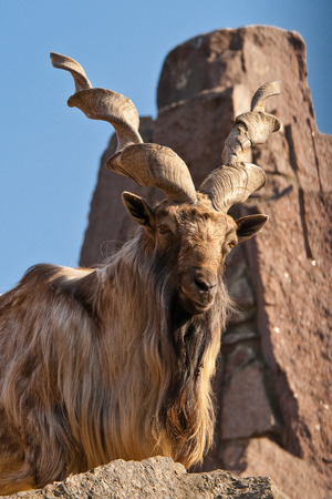 Brown Markhor lying on rock photo