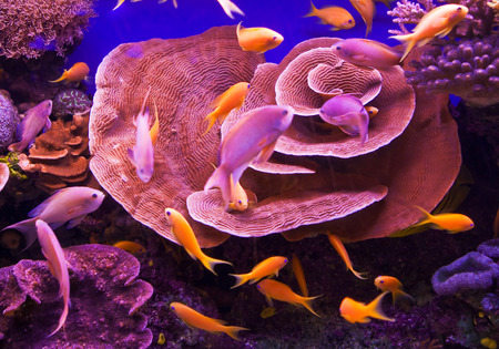Pinc corals and goldfishes in deep blue water photo