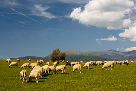 Herd of sheep grazing on a meadow photo