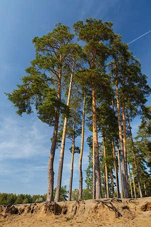 Sandy soil: Altos pinos que crecen en el suelo arenoso Foto de archivo