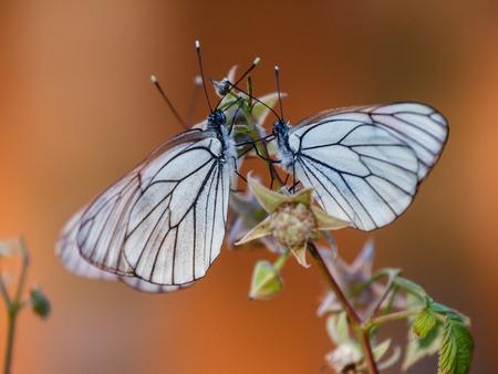 Three butterflies on a raspberry twig photo