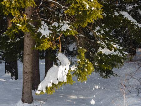 neige qui tombe: La neige tombant des branches de sapin