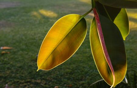 ficus: Yellow leaves of a ficus