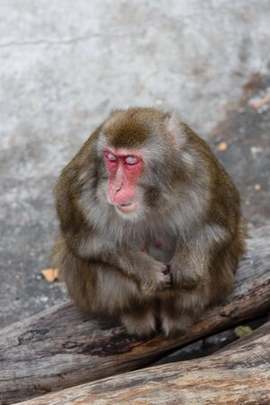 dozing: Dozing Japanese macaque in a zoo
