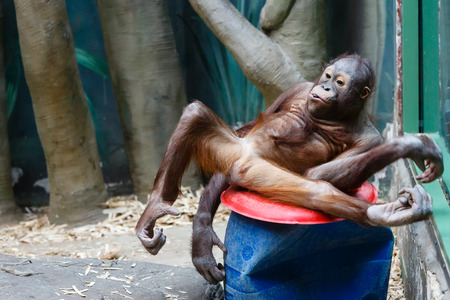 bonobo: Chimpanzee tired to wriggle before visitors of a zoo