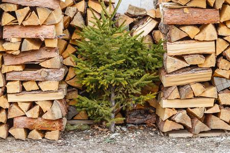 beechwood: Stack of beech firewood and small fir-tree