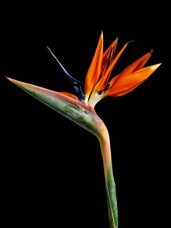 bloom bird of paradise: Strelitzia - exotic flower called bird of paradise flower on black background Stock Photo