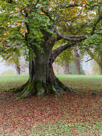 huge tree: Huge tree trunk in park with fog at a background Stock Photo