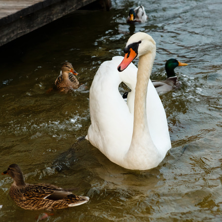 cygnet: White swan floating on the lake in search of food