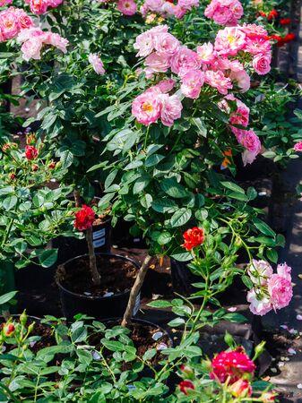 flower nursery: Garden roses on sale in flower nursery Stock Photo