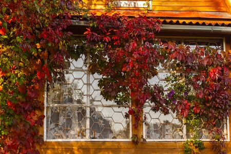 twined: Wall of the rural house twined by grapes