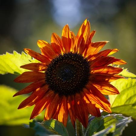 redish: Close-up of  redish sunflower backlighting  by sun