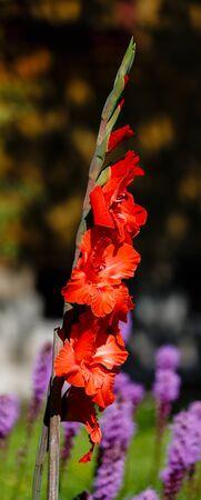 jardines con flores: Individual gladiolo rojo sobre un fondo de flores distorsionarán