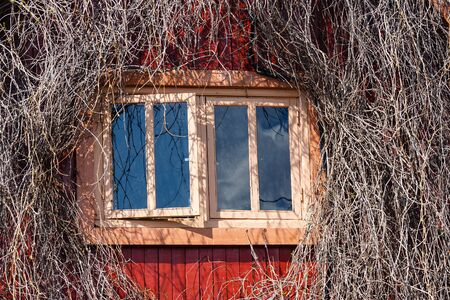 twined: Window in a wall of the wooden house twined wild grapes Stock Photo