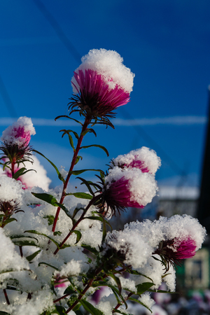 First snow in this season covered flowers in a garden