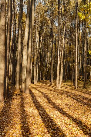 Long shadows from tall trees in deciduous forest on bright autumn day
