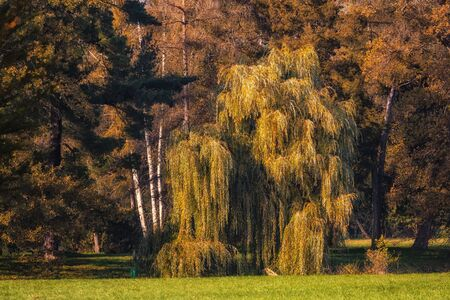 weeping willow in the park in fall season