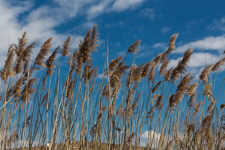 Brushing dry stems of reed on the background of blue sky