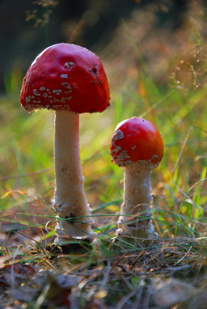 Amanita Muscaria - Magic mushrooms
