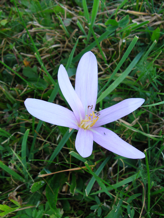 Blossomed spring crocus in the grass Stock Photo