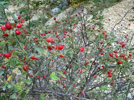 Bush of rosehip
