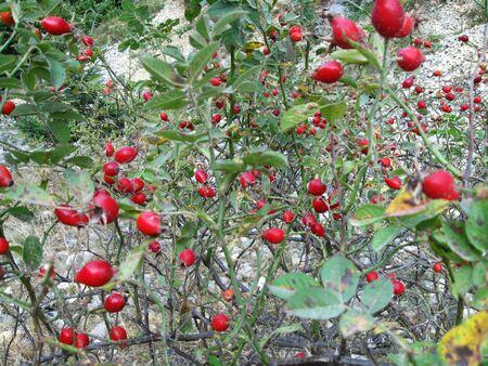 Rosehip bush Stock Photo